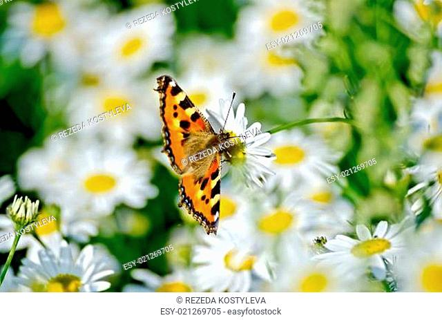 Butterfly orange on a white flower