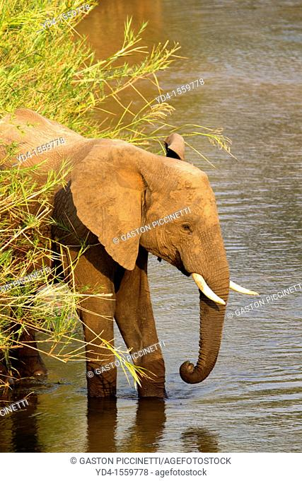 African Elephants Loxodonta africana, in the river, Olifants River, Kruger National Park, South Africa