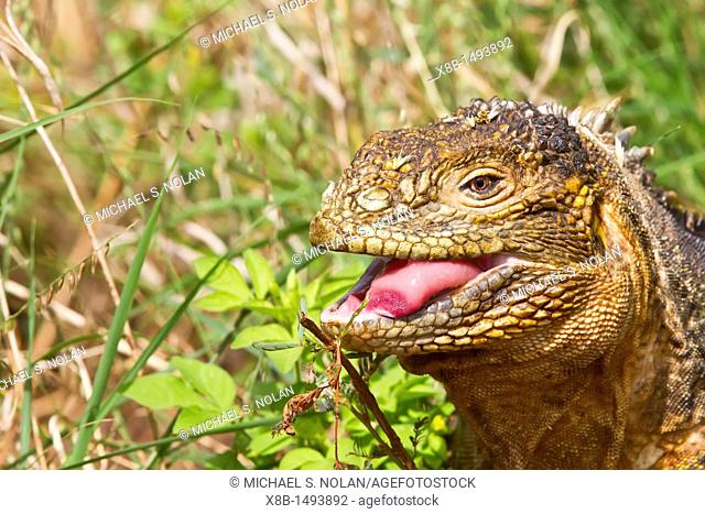 The very colorful Galapagos land iguana Conolophus subcristatus in the Galapagos Island Archipelago, Ecuador MORE INFO This large land iguana is endemic to the...