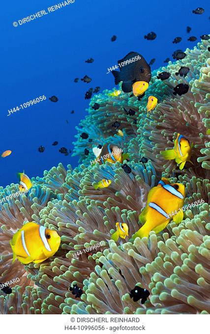 Twobar Anemonefish in Coral Reef, Amphiprion bicinctus, Shaab Rumi, Red Sea, Sudan