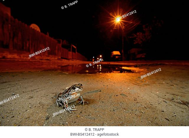 common spadefoot, garlic toad (Pelobates fuscus), sitting on a road in a village at night, Romania, Dobrudscha, SfÔntu Gheorghe