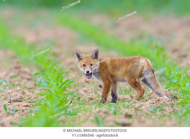 Young Red Fox (Vulpes vulpes) on Maize Field, Hesse, Germany, Europe