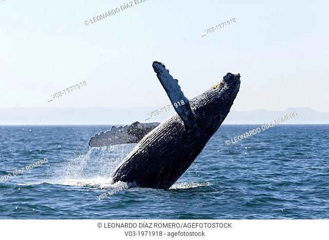 Humpback Whale jumping at the sea near 'Isla Espíritu Santo', north of La Paz, Baja California Sur, Mexico