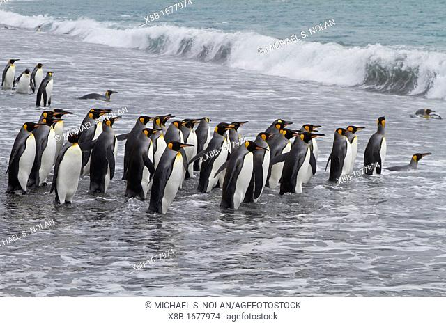 Adult king penguins Aptenodytes patagonicus returning to the sea from the nesting and breeding colony at Salisbury Plain on South Georgia Island, Southern Ocean