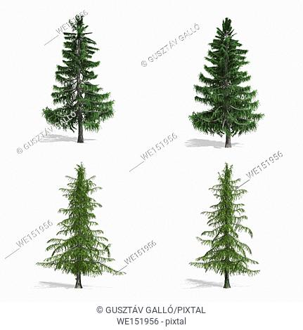 Cedar trees, isolated on white background