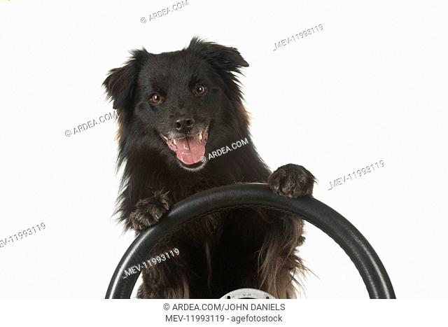 DOG. Pyrenean sheepdog, paws over stearing wheel, studio
