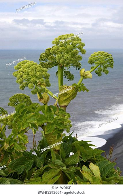 Garden angelica (Angelica archangelica), blooming at Kap Dyrholaey near Vik, Iceland