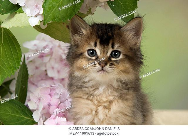 CAT. Somali kitten (brown usual ) 9 weeks old with flowers