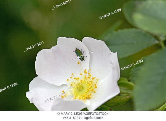 Jewel Beetle, Anthaxia fulgurans on a dogrose