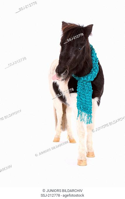 Shetland Pony. Piebald mare with muffler, standing with tongue sticked out. Studio picture against a white background. Germany