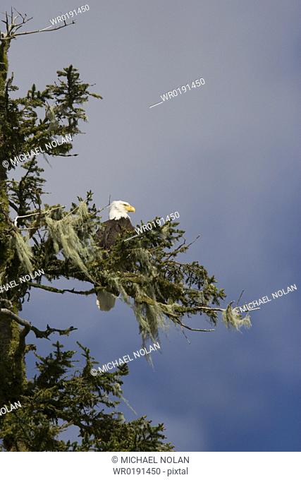 Adult bald eagle Haliaeetus leucocephalus in Takatz Bay on Baranof Island, Southeast Alaska, USA Note the characteristic white head and tail of the adult bald...