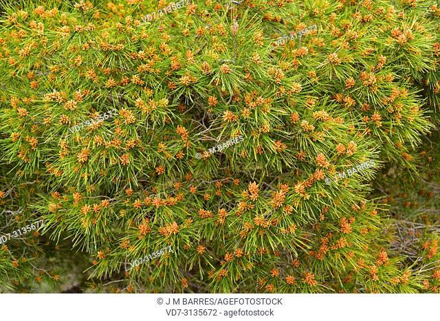 Aleppo pine (Pinus halepensis) is a coniferous tree native to Mediterranean Basin. It is specially abundant in eastern Spain. Male flowers detail