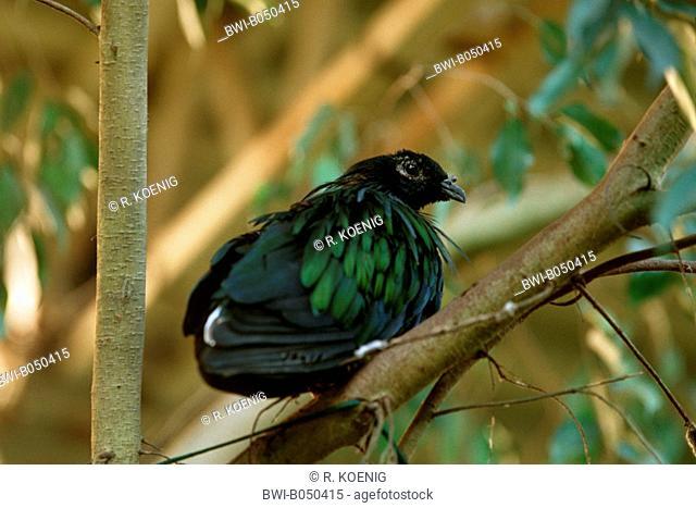 nicobar pigeon (Caloenas nicobarica), sitting on a branch