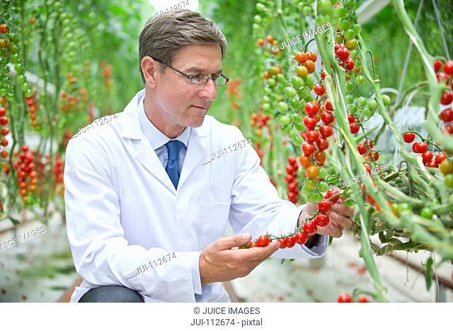 Food scientist examining ripe red vine tomato plants
