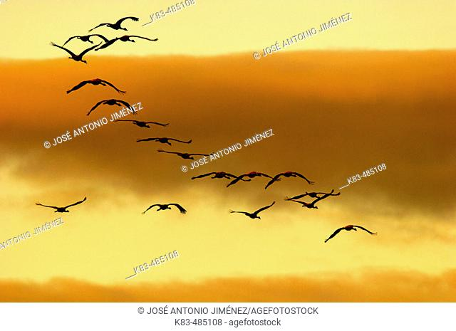 Cranes flying. Laguna de Gallocanta area, Zaragoza province. Aragón, Spain