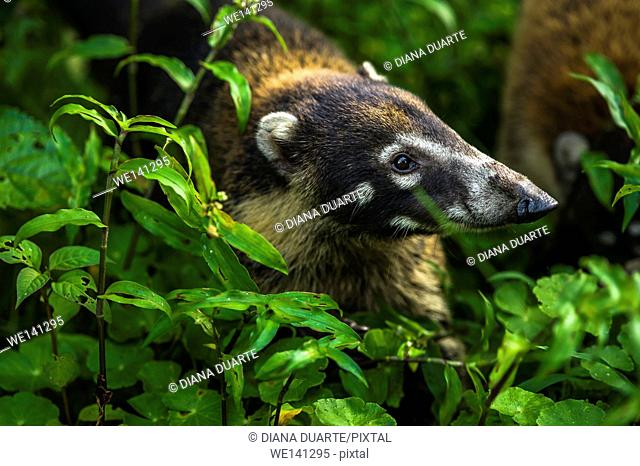 """""""""""White-nosed coati"""" (Nasua narica); Members of active groups emit constant soft whining sounds. Cahuita National Park, Costa Rica"