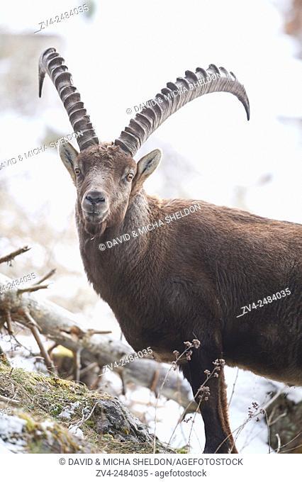 Close-up of an Alpine ibex (Capra ibex) in the Alps of Austria in winter