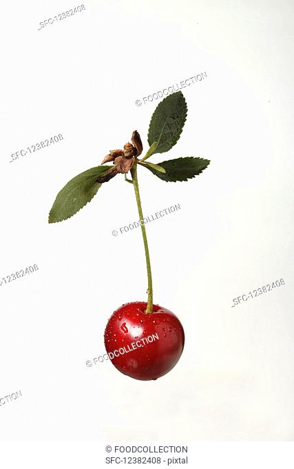 A sour cherry on a stem with leaf