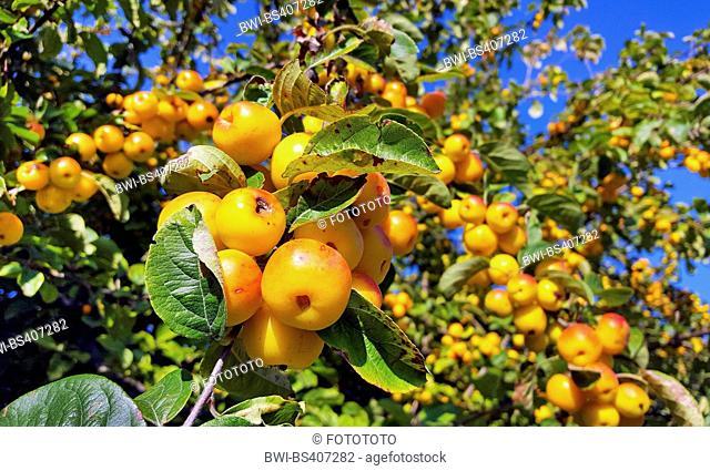 Toringo Crab-Apple, Toringo Crab apple (Malus x zumi 'Golden Hornet', Malus x zumi Golden Hornet), branch with fruits, cultivar Golden Hornet