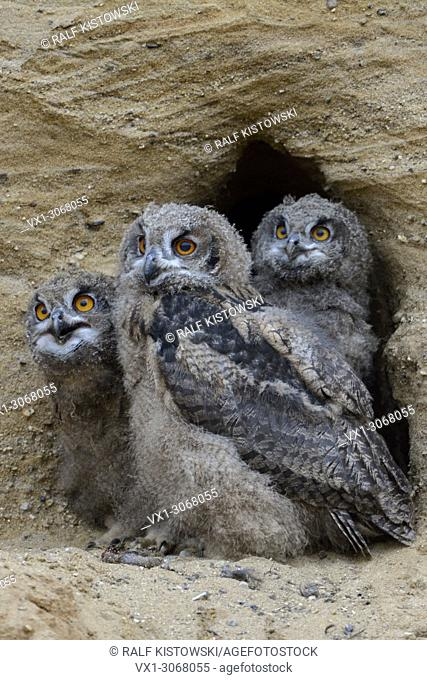 Eurasian Eagle Owls ( Bubo bubo ), three chicks in the entrance of their nesting burrow, cute and funny wildlife, Europe