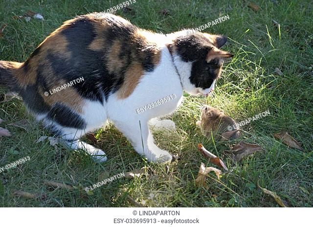 Calico cat looking at a rat on the ground in the grass that it is looking to attack