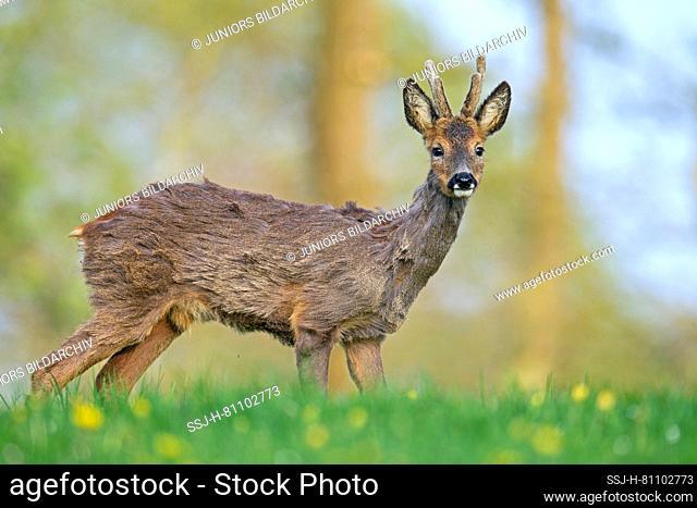 Western Roe Deer (Capreolus capreolus). A juvenile roebuck changing its coat. Germany