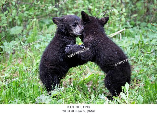 Canada, Rocky Mountains, Alberta. Jasper National Park, American black bear (Ursus americanus), bear cubs playing