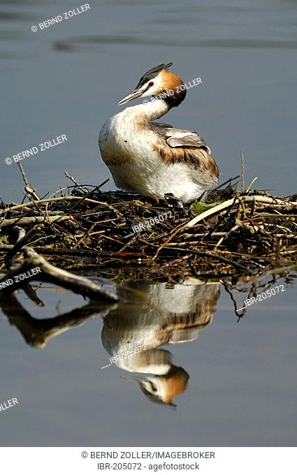 Great Crested Grebe (Podiceps cristatus) with reflection, sitting on its clutch