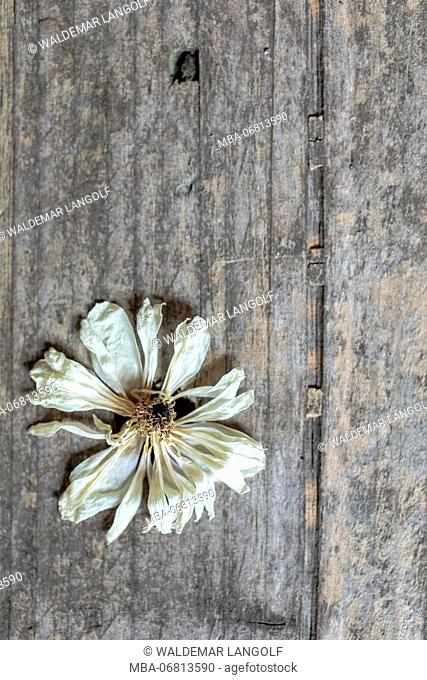 Floral still life, anemone, wilted blossom on wooden underground