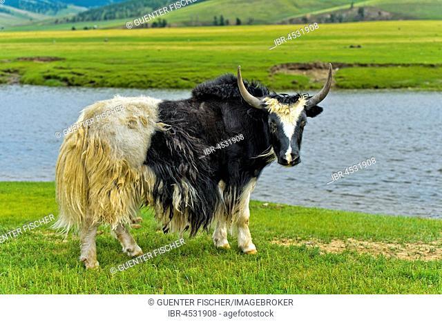 Yak (Bos mutus) standing by the river, Orchon Valley, Khangai Nuruu National Park, Archangai Aimag, Mongolia