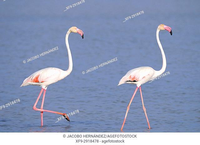 Doñana Natural Park. Greater flamingo (Phoenicopterus ruber). Salinas de Bonanza. Sanlúcar de Barrameda. Cádiz province. Andalusia. Spain