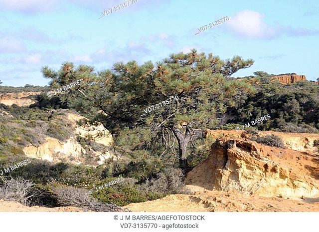 Torrey pine (Pinus torreyana) is an endangered species endemic to San Diego (Torrey Pines State Natural Reserve) and Santa Rosa Island, California