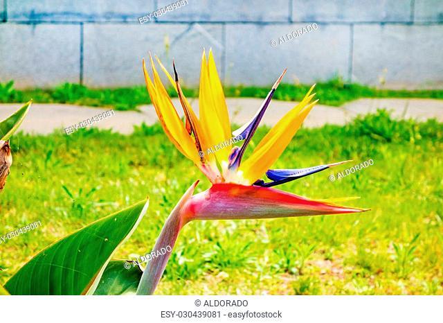 Strelitzia, crane flower, bird of paradise