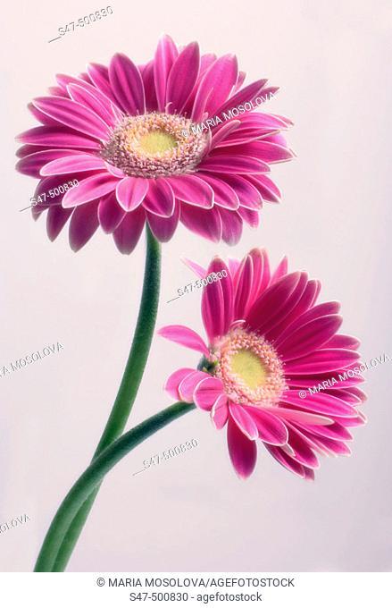 Two Pink Gerbera Flowers Intertwined. Gerbera jamesonii. Maryland, USA