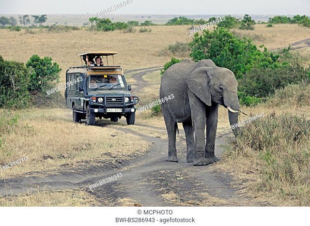 African elephant (Loxodonta africana), old female on a street, safari car with tourists in the background, Kenya, Masai Mara National Park