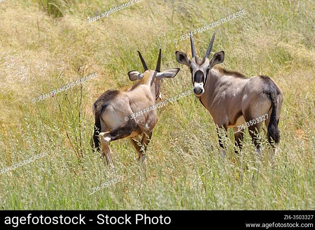 Gemsboks (Oryx gazella), two young oryxes, standing in the tall grass, Kgalagadi Transfrontier Park, Northern Cape, South Africa, Africa