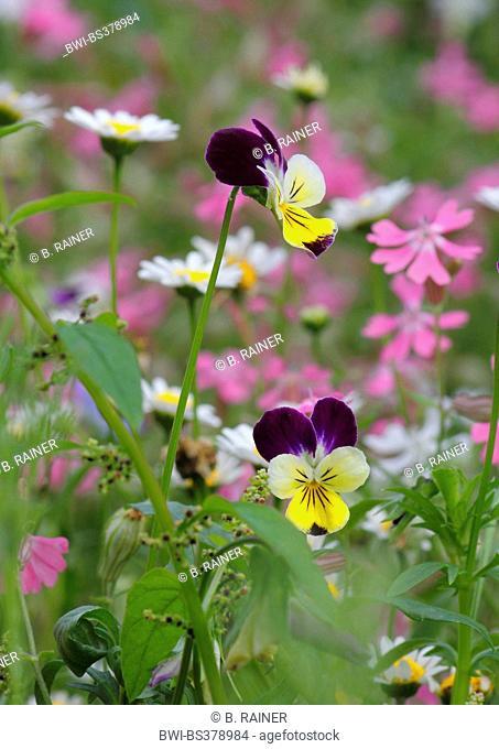 horned pansy, horned violet (Viola cornuta), flowers