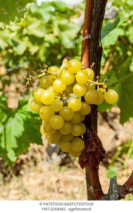 Grape cluster in Humac village, Hvar island, Croatia