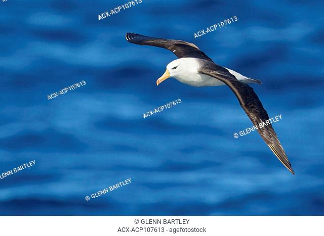 Black-browed Albatross (Thalassarche melanophris) flying over the ocean searching for food near South Georgia Island