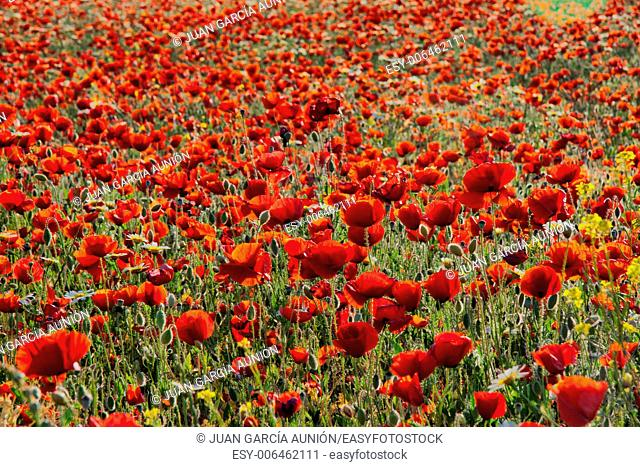A very big blossoming poppy field during sunny afternoon, Spain