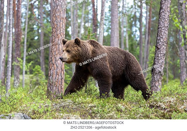 Brown bear, Ursus arctos, walking in deep forest with pine trees around and moss and blue berry bushes, Kuhmo, Finland