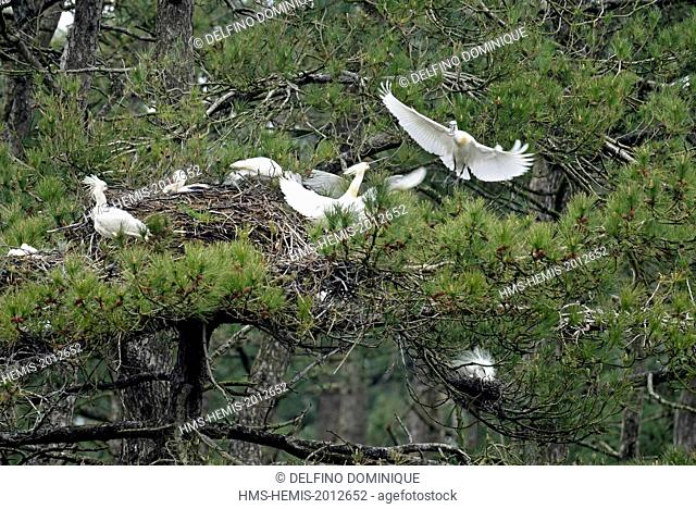 France, Somme, Baie de Somme, Spoonbill (Platalea leucorodia) colony of nesting birds in the pines of the Marquenterre Park
