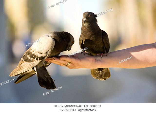 Pigeons feeding from a hand