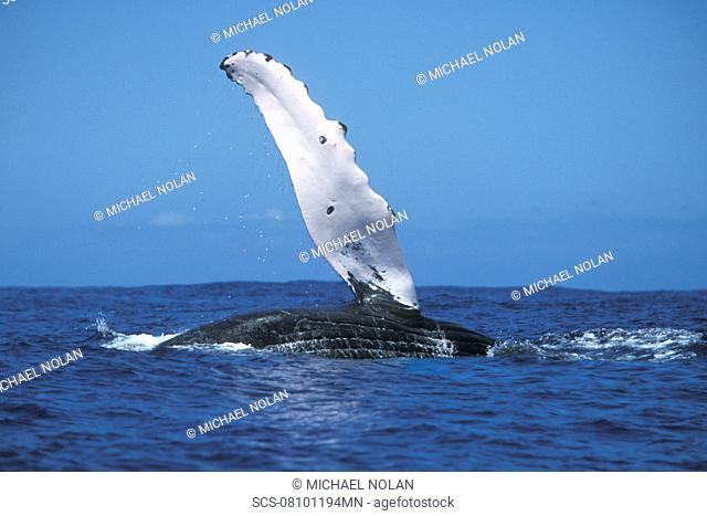 Adult Humpback Whale Megaptera novaeangliae pec-slapping in the AuAu Channel, Maui, Hawaii, USA Pacific Ocean