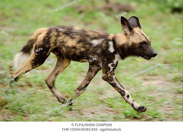 African Wild Dog Lycaon pictus pup, running, Kwando Lagoon, Linyanti, Botswana
