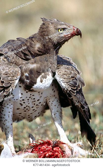 Martial Eagle (Polemaetus bellicosus) with killed young of a Thomson's Gazelle. Masai Mara Game Reserve. Kenya