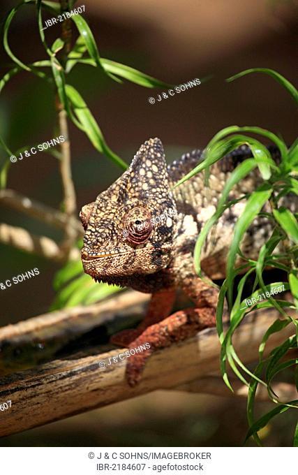 Oustalet's or Malagasy Giant Chameleon (Furcifer oustaleti), male, portrait, Madagascar, Africa