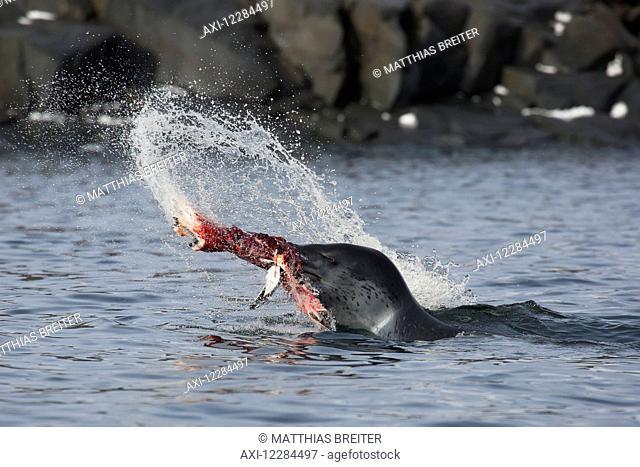 Leopard Seal (Hydrurga leptonyx) catching Gentoo Penguin (Pygoscelis papua), Port Lockroy, Antarctic Peninsula; Antarctica