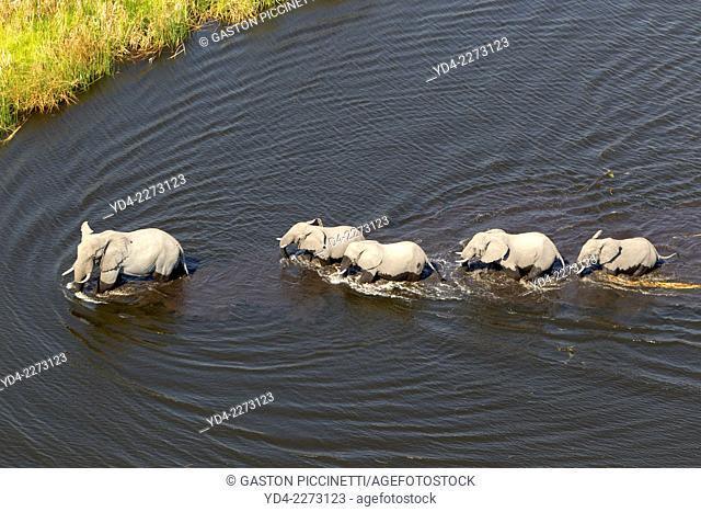 Aerial view of African Elephants (Loxodonta africana), Okavango Delta, Botswana. The vast inland delta is formed from the Okavango River
