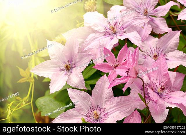 Clematis flower closeup shot against sunlight